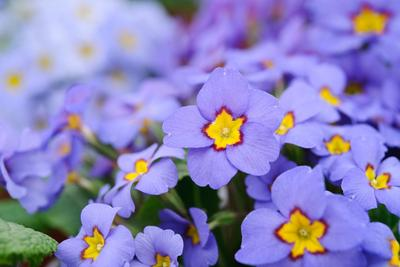 <i>P. polyanthus</i> «Blue Juliana». Crédit photo: Jason Ingram.