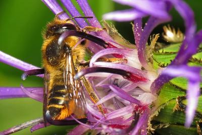 La mégachile est une abeille sauvage solitaire. Ici sur une fleur de centaurée. Crédit photo: Martin Cooper/Flickr.