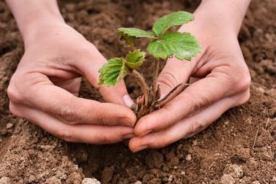 Veillez, lors de la plantation, à ne pas enterrer le bourgeon situé à la base du pied.