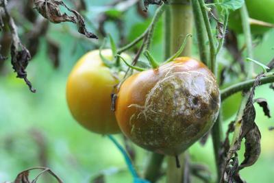 Attaque de mildiou sur tomates