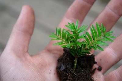 Jeune plant d'if issu d'un semis.
