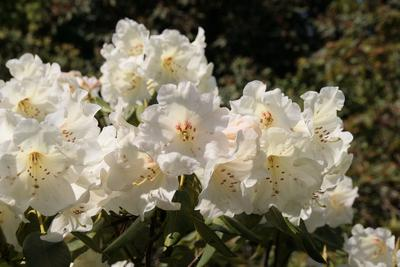Rhododendron 'Diane'. Photo: CDP 29.