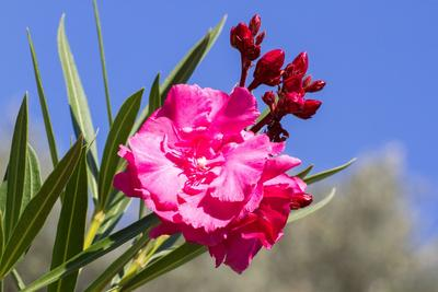 Laurier-rose en fleur