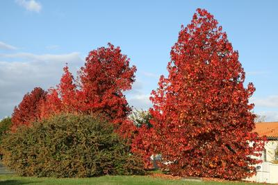 Liquidambars en automne.
