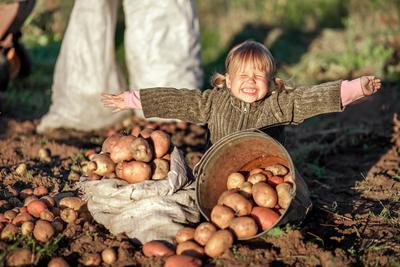 Pour une bonne conservation, les pommes de terre doivent sécher quelques heures au soleil.