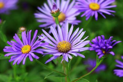 Asters en fleurs.