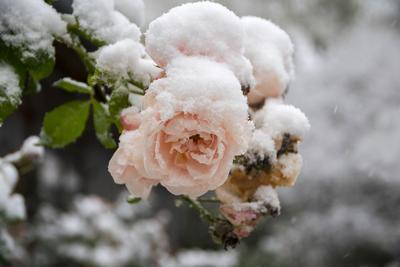 Roses «surprises» par la neige.
