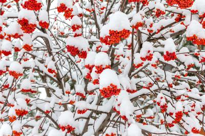 Baies de sorbier sous la neige.