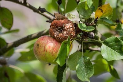 Pomme atteinte de moniliose.