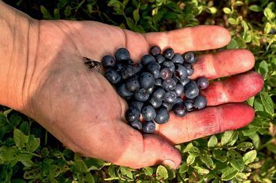 Baies de myrtillier sauvage ( <i>Vaccinum myrtillus</i>) que l'on cueille à l'état naturel sur les sols acides de montagne.