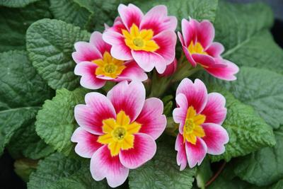 Les primevères se divisent au mois de mai, après la floraison.