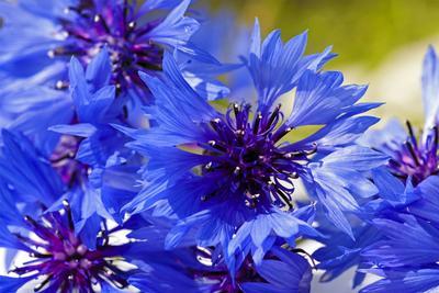 Les bleuets ( <i>Centaurea cyanus</i>) sont de plus en plus utilisés, en particulier dans les «mélanges fleuris» prêts à semer.
