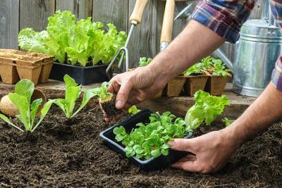 En cette saison, le recours à des plants en mottes compressées permet de gagner du temps.