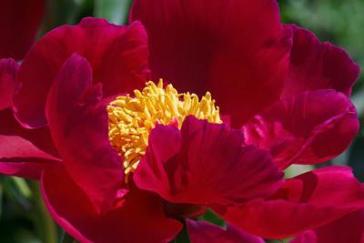 Pivoine herbacée en fleur.