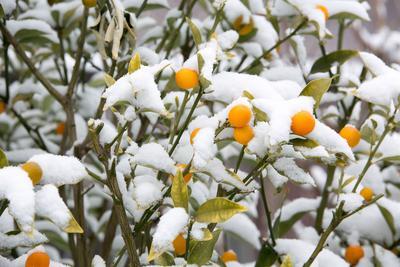 Les agrumes ne doivent pas hiverner dans des pièces chauffées.