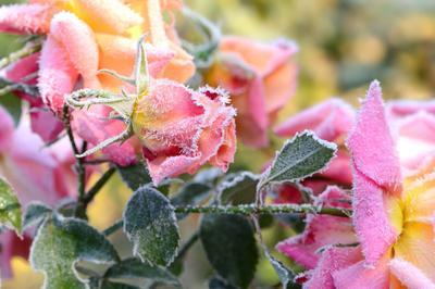 Faites des bouquets avec les dernières roses.