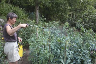Bien que toxique pour les sols et les milieux aquatiques, la bouillie bordelaise reste autorisée contre le mildiou de la tomate.