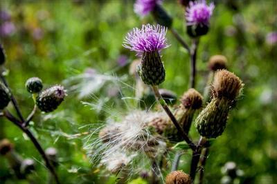 Les herbicides bios sont peu efficaces contre les plantes vivaces, comme le chardon.