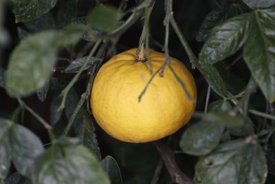 Le citrumelo résiste jusqu'à -15°C ou -17°C selon les cultivars.