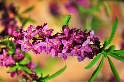 Le daphné bois-joli ( <i>Daphne mezereum</i>) dégage un parfum exceptionneL