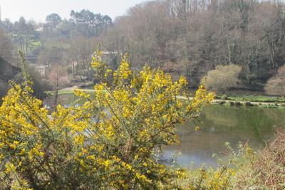 Ajonc, la «fleur d'or» des Bretons