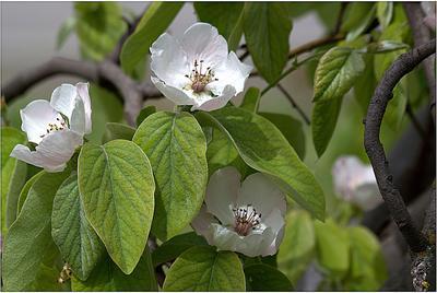 Fleurs de cognassier au printemps