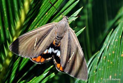 <i>Paysandisia archon:</i> la larve de ce gros papillon argentin inflige elle aussi de gros dégâts aux palmiers de la Côte d'Azur. Photo: Rachid H sous licence CC.