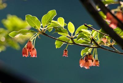 Enkianthus à fleur de campanule.