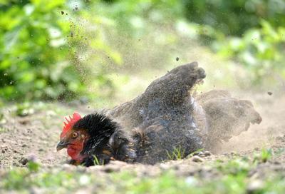 Les poules aiment se rouler dans la terre sèche pour se débarrasser de leurs parasites, créant ainsi les fameux nids-de-poule.