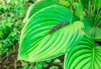Les hostas comptent parmi les plantes les plus sensibles aux limaces.