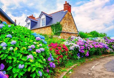 Dans les régions au sous-sol schisteux, riche en aluminium, les hortensias bleuissent spontanément.