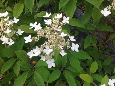 Peu connus, les <i>Hydrangea hetromalla </i>sont les premiers à fleurir, dès le mois de mai.