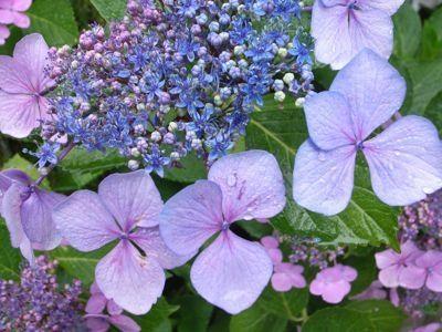 hortensia comment obtenir de belles fleurs mauves et bleues. Black Bedroom Furniture Sets. Home Design Ideas