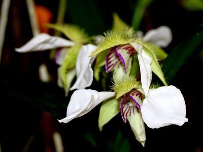 <i>Dendrobium eximium</i>.