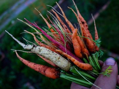 Diverses variétés de carottes.