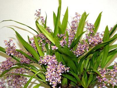 Fleurs d' <i>Oncidium ornithorhynchum</i>. Crédits photo: Philippe Lemettais/SNHF.