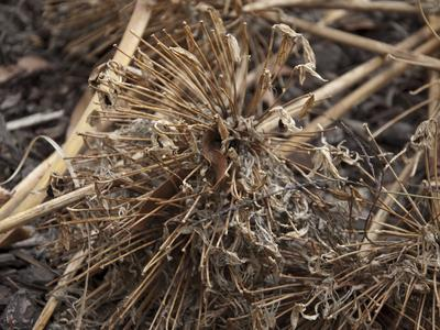 Inflorescences d'agapanthes sèches en hiver.