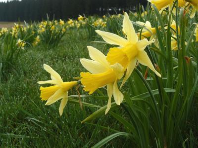 Narcisse trompette, dénommé jonquille dans le nord de la France.