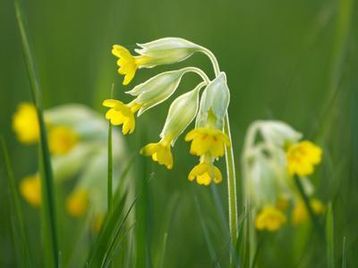 Le fameux «coucou» des champs appartient à l'espèce <i>Primula veris.</i>