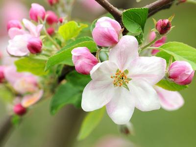 Fleurs de pommier: l'objectif de la taille est de favoriser la floraison et la fructification.