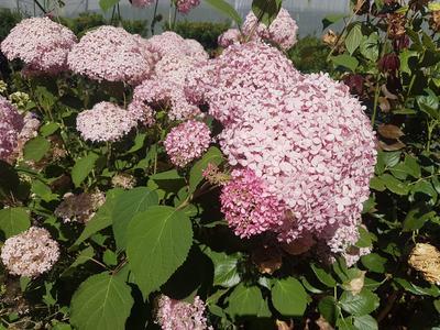 La variété 'Invincible' ou 'Invincibelle' est souvent surnommée l'«Annabelle rose».