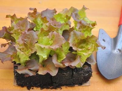 Ne plantez pas trop de salades à la fois.
