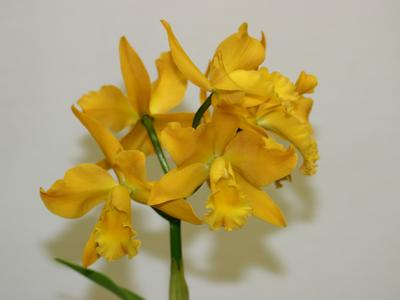 Cattleya hybride.