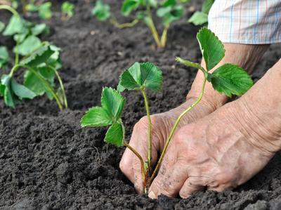 La plantation des fraisiers s'effectue en fin d'été-début d'automne ou en mars-avril
