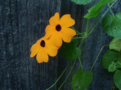 La suzanne aux yeux noirs est une plante grimpante.