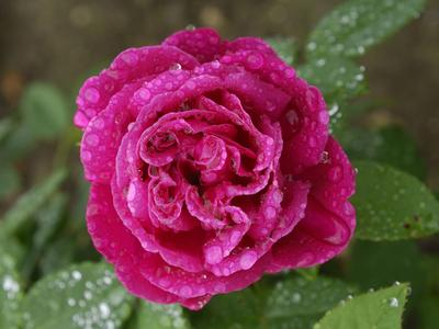 Rose 'Tom Wood' de André Eve.
