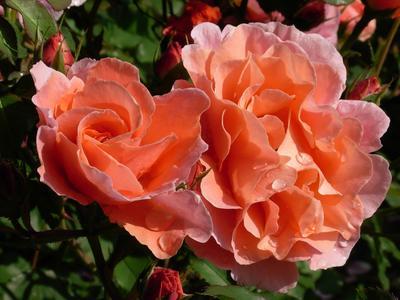 Alibaba, obtention Chris Warner ('Chewalibaba'): rosier sarmenteux, grand prix toutes catégories du Grand prix de la rose/SNHF 2012