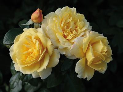 Sunstar, obtention Kordès ('Korsteimm'). En 2011, ce rosier buisson à fleurs groupées a obtenu le grand prix toutes catégories du Grand prix de la rose/SNHF.