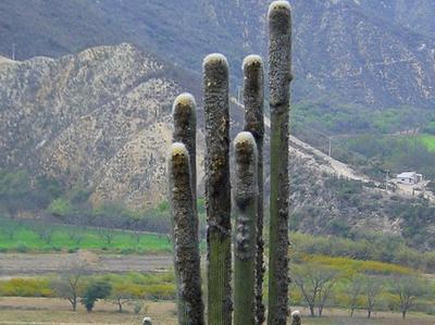Le nom «tête de vieillard» vient de l'abondante laine blanche qui recouvre le sommet des colonnes.