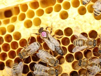 Abeille reine (au centre avec un numéro sur le thorax).